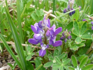 Lupine just starting to bloom