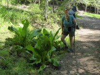 Skunk cabbage on steroids