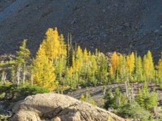 Sunlight on larches