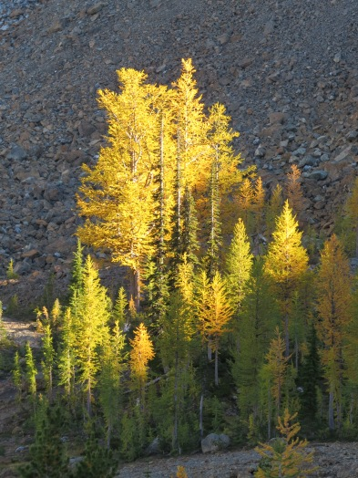 At certain times of day, the larches just light up