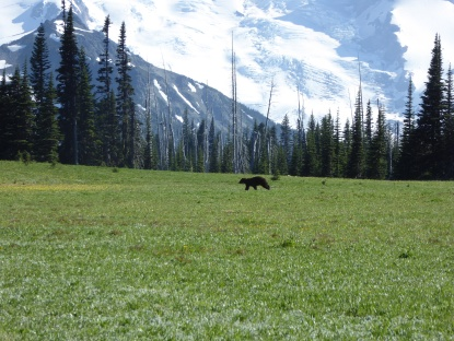 Mr. Bear as I first came into the meadow