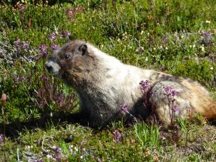 Fattest marmot I've ever seen