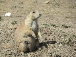 Fatty prairie dog