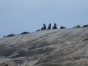 Doubtful Sound NZ, fur seals