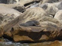 NZ Fur Seal, Abel Tasman